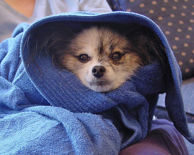 Willie after bath